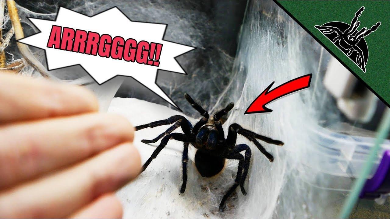 abusing-my-tarantulas-exotics-lair-style