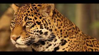 Tribute to Jaguar - Un tributo al Jaguar
