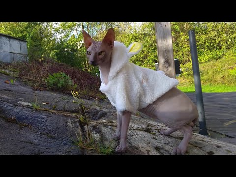 Beautiful sphynx cat / DonSphynx