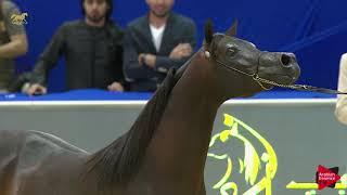 N.182 SQ AL NATO - Dubai 2019 - Stallions 4- 6 years old
