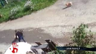 Бойцовский пес, на глазах хозяйки, загрыз соседскую собаку в Златоусте