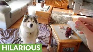 Awkward dog struggles with hand-eye coordination