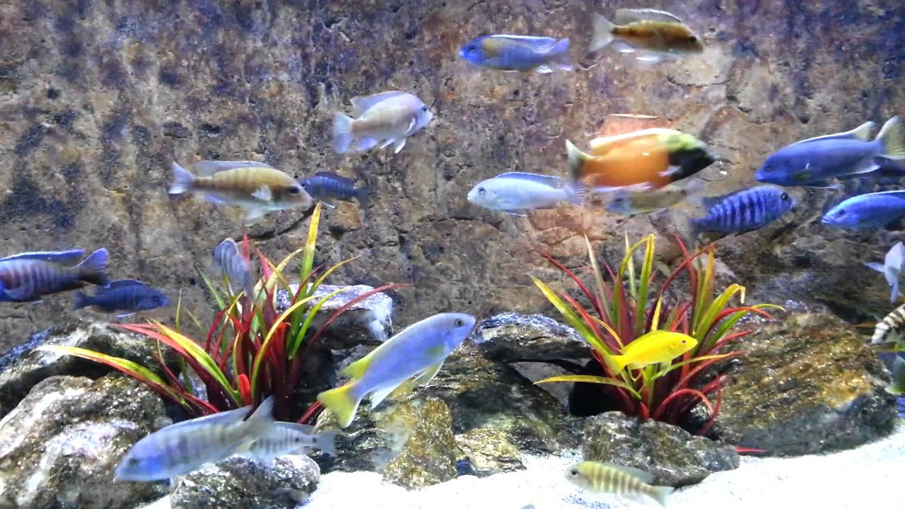 My History African Cichlid Led Lighting Youtube