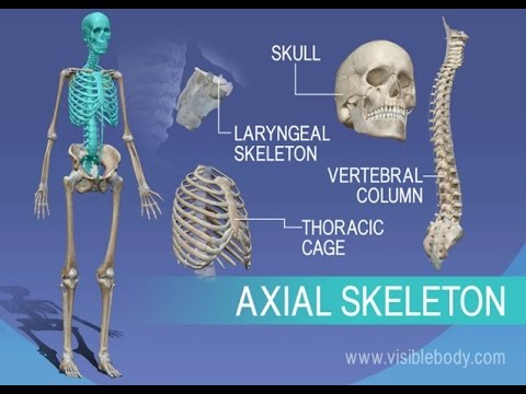Anatomy And Physiology Of Axial Skeleton Youtube
