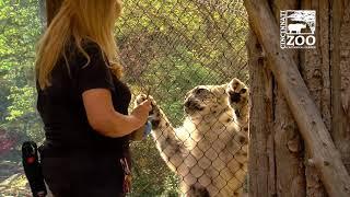 Snow Leopard Gets Ultrasound in Front of Zoo Visitors - Cincinnati Zoo