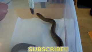 My Woma Python Groucho eating his second rat