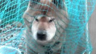 愛犬トーマスが網に開いた穴に顔を突っ込んでる様子.