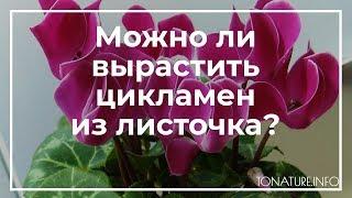 Можно ли вырастить цикламен из листочка? | toNature.Info