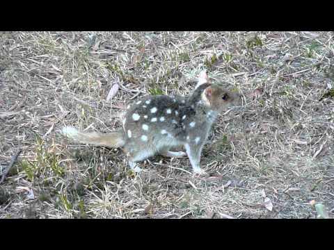 Tasmanian quoll