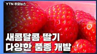 딸기지존 설향(雪香)의 아성에 도전한다. / YTN