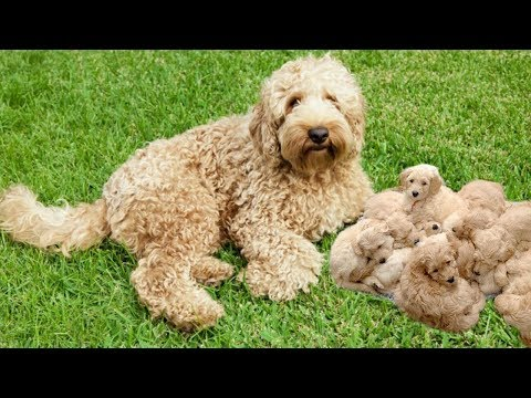 Mother Labradoodle in labor and having many puppies- Cute Dog Giving Birth