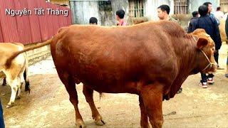 Bác Hiền đào hỗ trợ mua Bò cho nhà anh 2 vợ ở chung. Nguyễn Tất Thắng