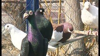 Кому помешали породистые голуби во дворе?
