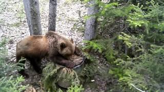 Привада на медведя