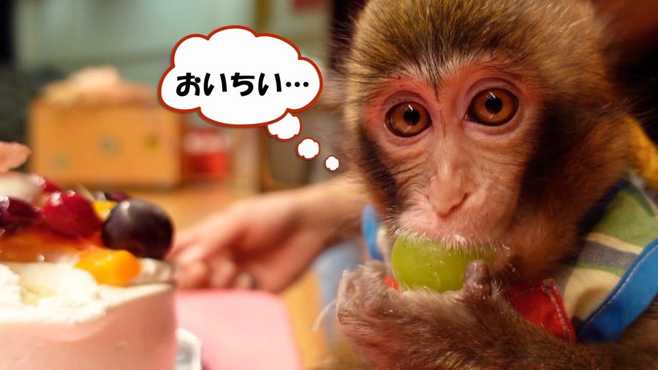はじめてケーキを食べて、美味しさに感動する子猿のルートくん。