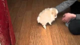 Micro Teacup Pomeranian Bowpup