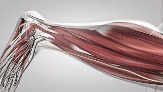 Au coeur des organes : Le réflexe myotatique