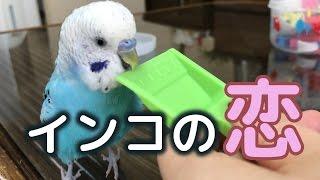 インコの恋 セキセイインコ・うめ Budgie(再UP) thumbnail