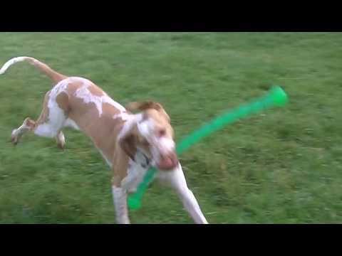 Bracco Italiano Wonderful Winnie whizzing.