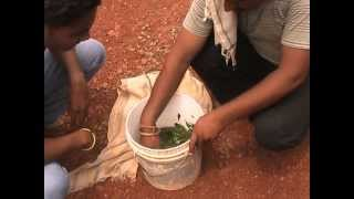 Preparation of insecticide solution from cow urine and neem Hindi Access Madhyapradesh