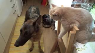 Как кошка с собакой. Овчарка и кот в квартире друзья на всю жизнь!!!