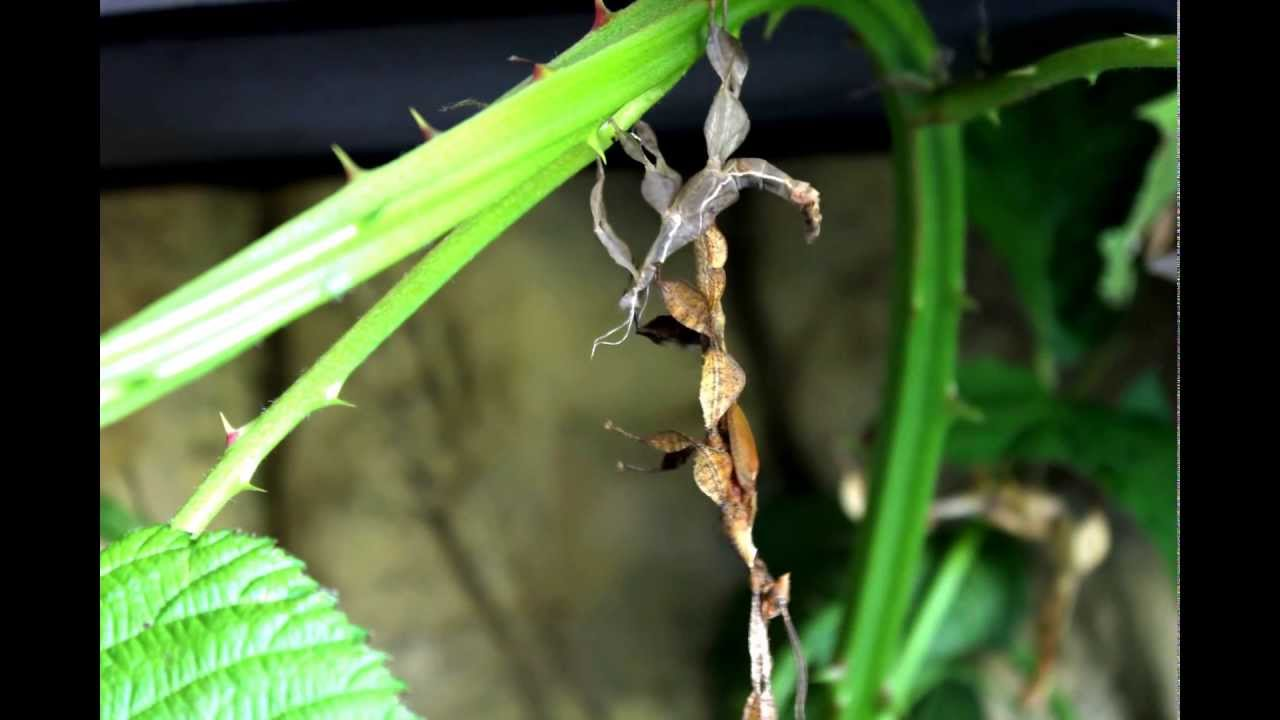 Macleay S Spectre Giant Prickly Stick Insect Shedding