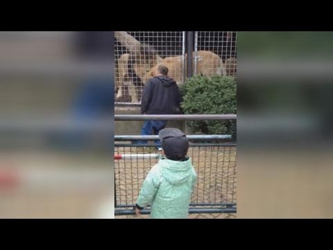 Man oog in oog met Artis-leeuw