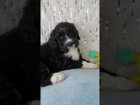 Bernedoodle Puppies For Sale And Available Now In Illinois