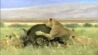 Lion gored to death by buffalo.flv