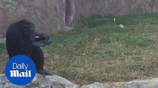Smoking chimpanzee Azalea is the star of North Korean zoo - Daily Mail