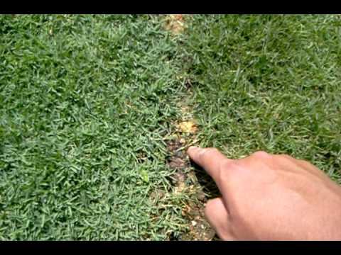 My rumput karpet YouTube