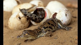 Crocodile Hatchlings Carried in Mothers Mouth