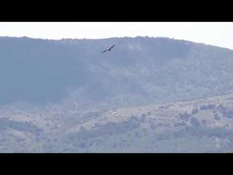 Ein Weiskopfgeier (oder Gänsegeier) gewinnt in den Bergen mühelos an Höhe