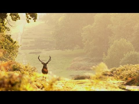 Stags Rutting in Richmond Park, London