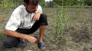 Окулировка персика(, 2011-08-29T17:59:07.000Z)