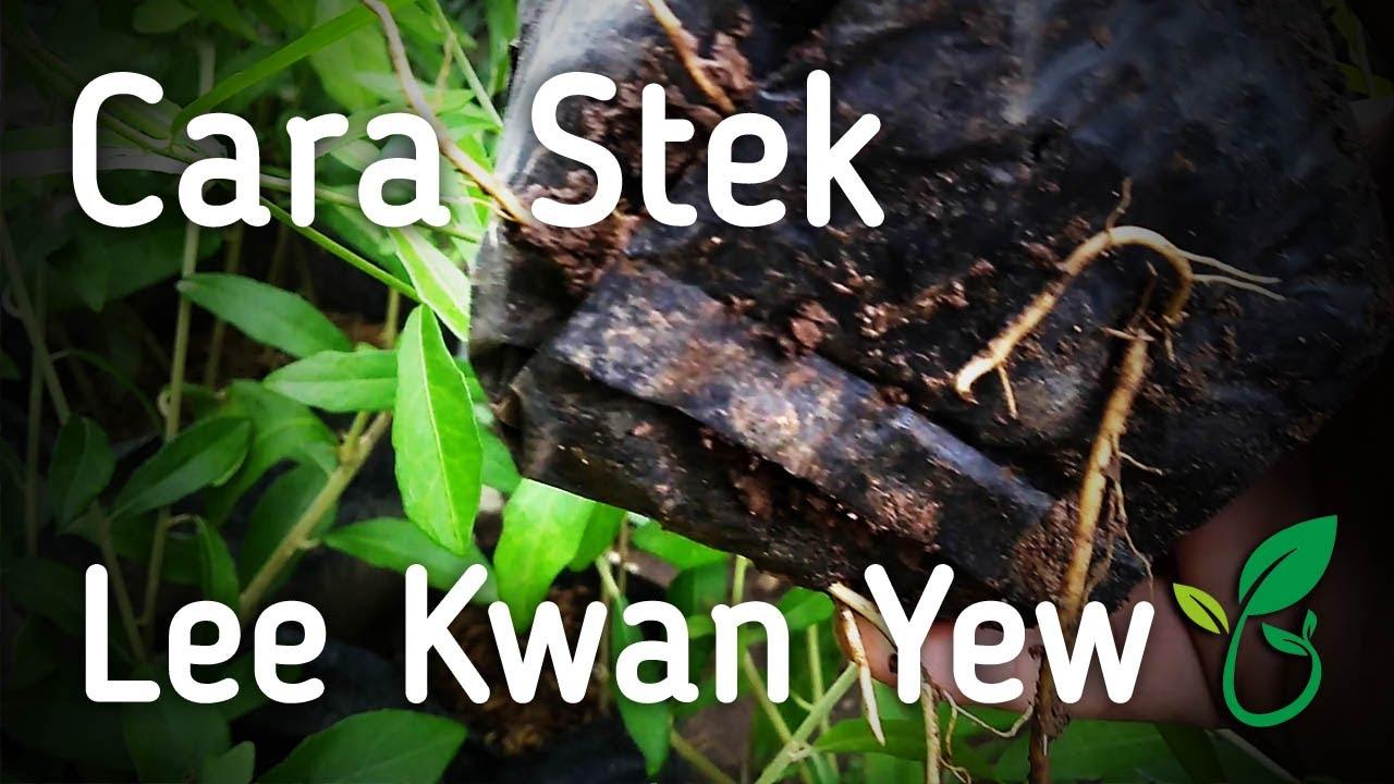 Cara Saya Stek Tanaman Hias Lee Kuan Yew Atau Janda Merana Youtube