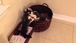 Snowy the Cutest husky puppy and kitten HD video
