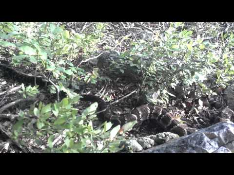Rattlesnakes mating in Hamburg, Pa