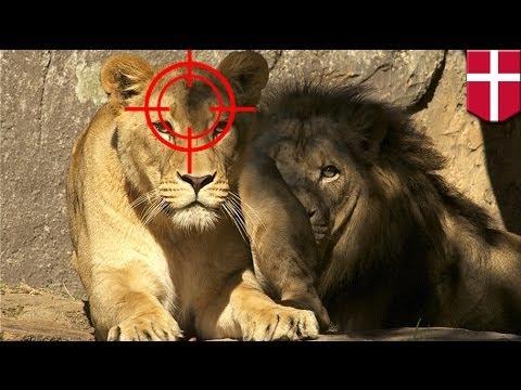 Danish Zoo executes lion family following giraffe killing