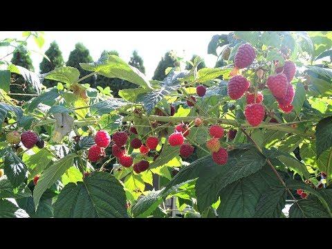 Малина сорта Химбо Топ. | урожай | огород | малины | малина | ягоды | химбо | сорта | топ | сад