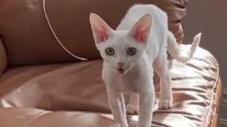 Talkative Devon Rex Kitten reporting her explorations