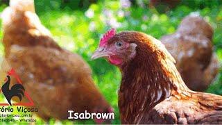 Criatório Viçosa - Isabrown - ovos férteis, galados - Unidade - Compre 12 e leve 15