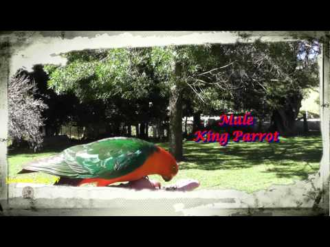 BIRDS IN MY BACKYARD / CRIMSON ROSELLA AND KING PARROT
