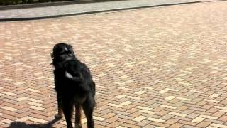 バーニーズマウンテンドッグのセーラ 女の子 1歳1ヶ月 体重40kg 大学内...