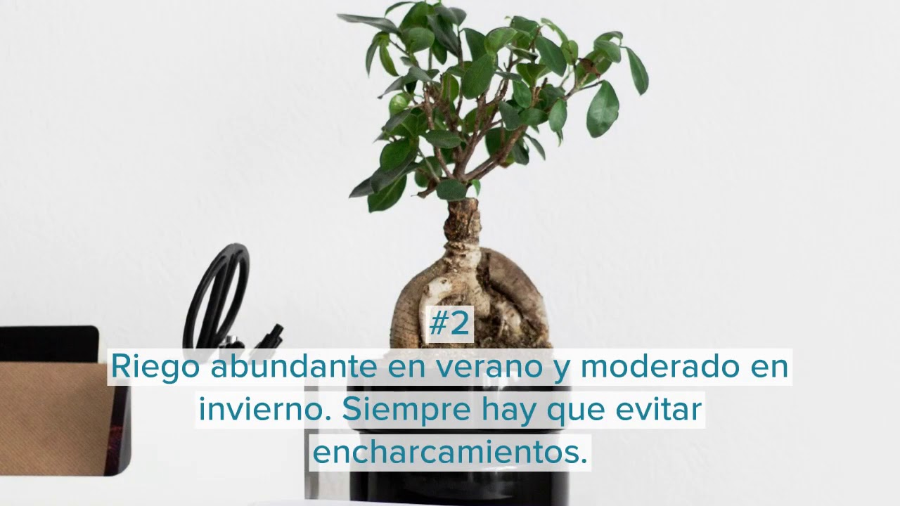 Ficus Microcarpa Ginseng Riego Cuidados Y Consejos Infojardineria