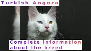 Turkish Angora. Pros and Cons, Price, How to choose, Facts, Care, History