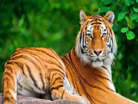 Cool Tiger Wallpaper Images