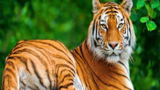 Cool Tiger wallpaper Images