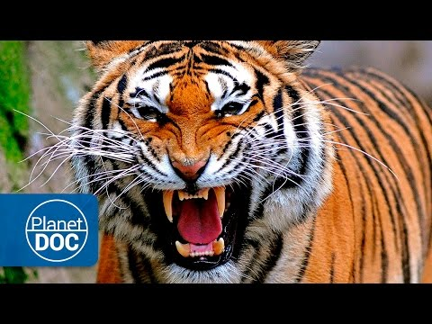 Tigers & Men: Deadly War | Full Documentary
