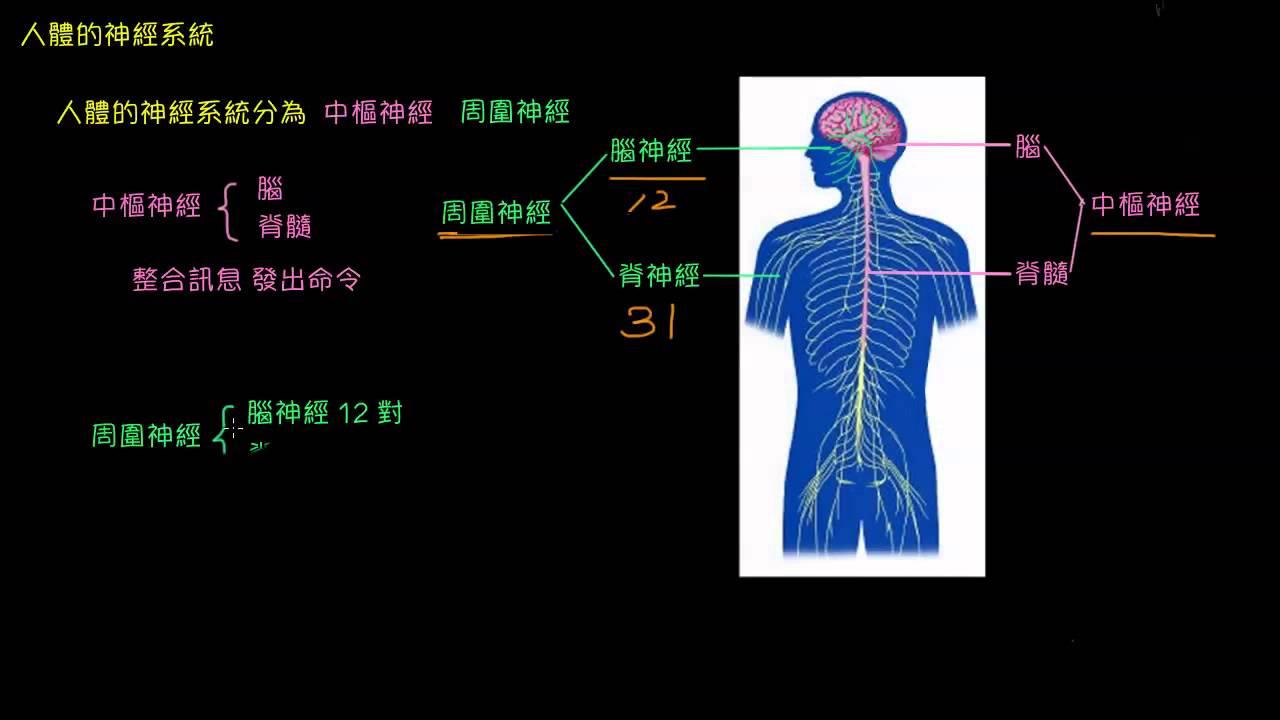 中樞神經和周圍神經簡介 - YouTube